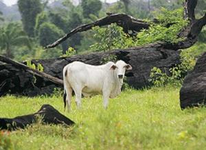 boi no pasto _- gado em folhapresss, por rogério cassemiro