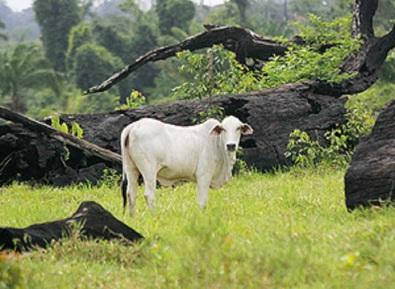 gado em folhapresss, por rogério cassemiro